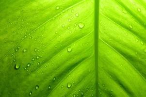 Devil's ivy leaf, Thailand