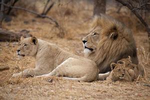 leones (panthera leo) foto
