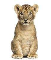 7 week old lion cub sitting and looking at the camera