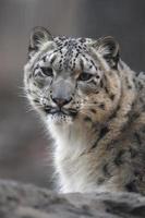leopardo da neve, uncia unci,