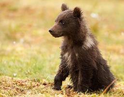 Alerted brown bear cub, Finland photo