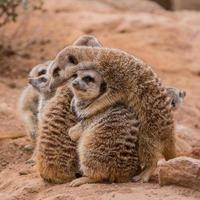 grupo de suricatas abrazándose
