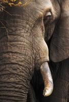 Elephant close-up portrait