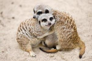 suricatas (suricata suricatta)
