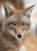 coyote (canis latrans) mira hacia adelante foto