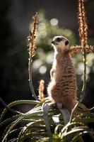 Meerkat on an Aloe