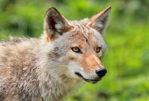 retrato de coyote foto