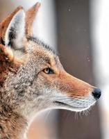 coyote (canis latrans) en la nieve foto