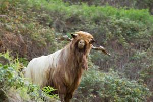 cabra de pelo largo en la gomera