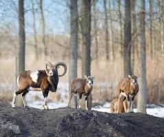 manada de muflones foto