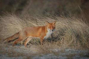 Red fox stalking through long grass photo