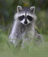 A baby raccoon standing in the grass