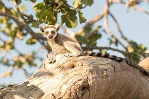 hermoso lémur en el árbol. foto