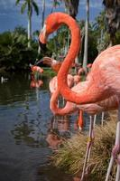 Profile of American flamingos in pond