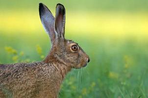 Brow hare photo