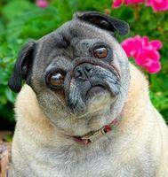 Pug dog portrait.