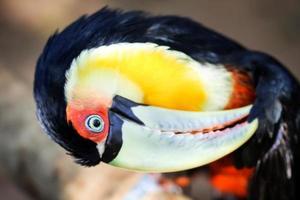 Dark toucan