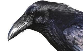 retrato de cuervo foto