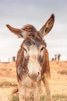 Brown donkey photo