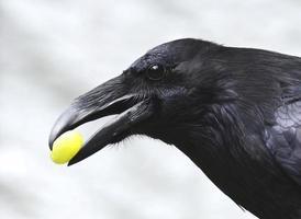 cuervo con una uva foto