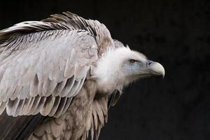 Griffon Vulture photo