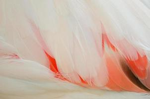 Greater Flamingo feathers
