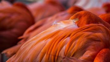 Llined up resting flamingos, eyes closed