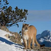 león de montaña mirando el valle