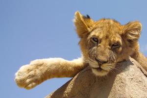 lazy lion cub