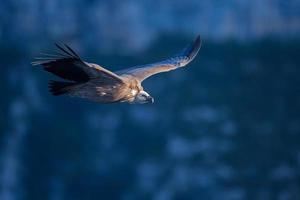 vautour fauve, gyps fulvus