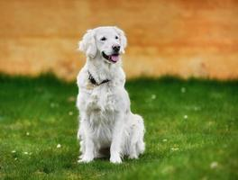 White golden retriever