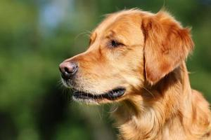 perro golden retriever foto