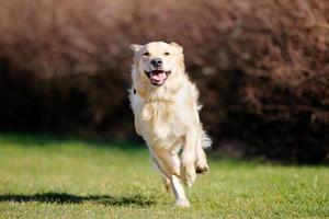 Running golden retriever photo