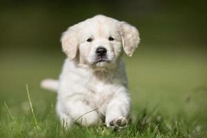 corriendo cachorro de golden retriever foto