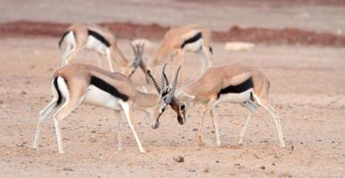 fighting gazelle