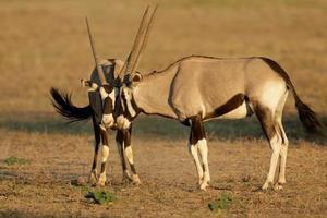 lucha contra gemsbok