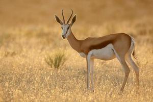 Springbok at sunrise