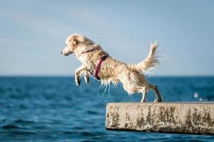 cão retriever dourado pulando no mar