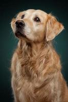 Front view of golden retriever, sitting and staring.