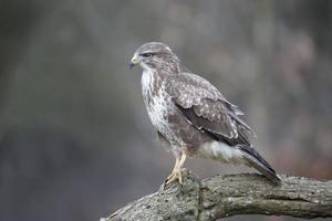 buse variable, buteo buteo