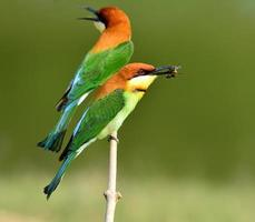Chestnut-headed Bee-eater bird eating bee