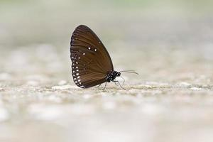 Butterfly : Common Crow in natural park.