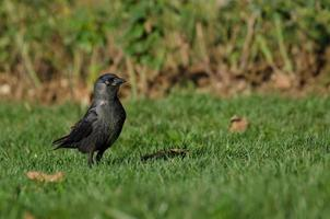 jeune corbeau