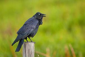 cuervo australiano, corvus coronoides, en foco