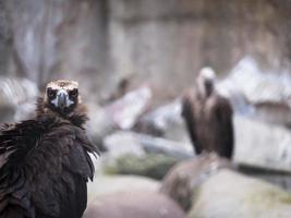 Adult black vulture looking directly at photo