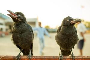 Cuervos en la barrera de tráfico de hierro.