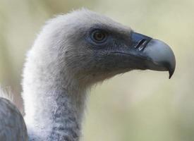 vautour fauve - gyps fulvus portrait