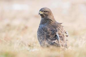 Common buzzards photo