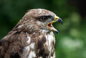 Screaming bird photo