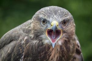 Close up image of a buzzard with an open mouth